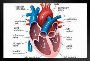 Human Heart Circulatory System Diagram Chart Framed Poster