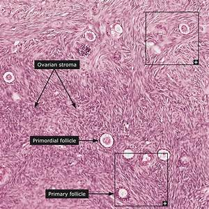 Image Gallery Ovary Tissue