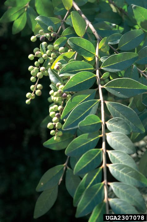 chineseeuropean privet nonnative invasive plants