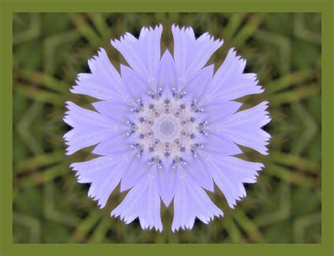 Floare de cicoare | startachim blog