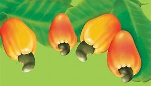 Cashew Fruit Drawing | www.pixshark.com - Images Galleries ...
