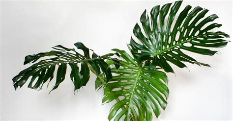 Create An Indoor Jungle With These Large Indoor Plants