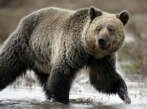Donald Trump makes it legal to shoot hibernating bears ...  Grizzly