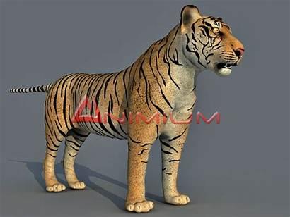 Tiger Animal 3d Models Wild Animium