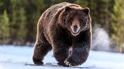 Bear Animal Wallpapers Animals Walls