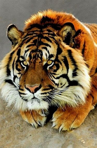 why looking too serious tiger beautiful animal earth