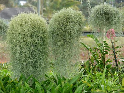 plants that grow in air plantwerkz spanish moss tillandsia usneoides