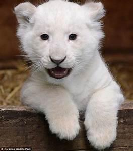 Adorable white baby lion!   adorible animals   Pinterest