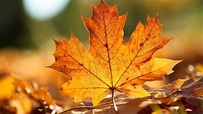 Maple Leaf Background Wallpapers Nature 1920
