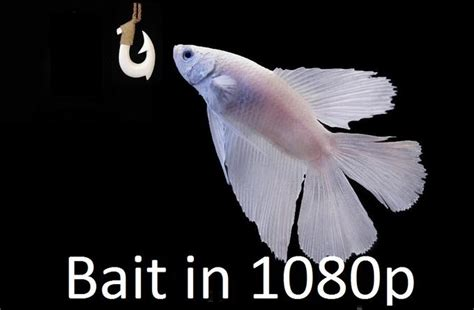 This Is Bait Meme - son this is bait