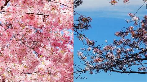 cherry blossom facts 28 best facts about cherry blossoms 10 interesting facts about cherry blossom global blue