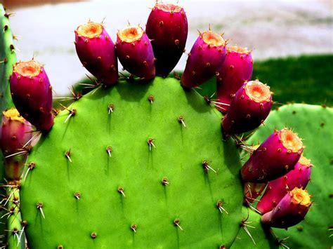 cactus fruit super longevity drink cactus and aloe smoothie lab ink