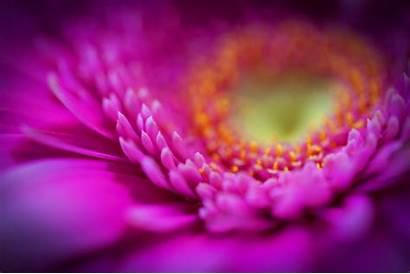 Purple Flower Pink Bckgrounds Petals Desktop Wallpapers