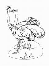 Ostrich Coloring Birds Template Recommended Colors sketch template