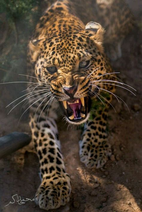 coolest jaguar cat an angry leopard animal kingdom awesome
