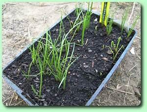 Culture Celeri Branche : le scorson re les plantes potag res ~ Melissatoandfro.com Idées de Décoration