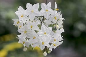 Jasmin Pflanze Winterhart : jasmin pflanze richtig schneiden jasminum officinale ~ Frokenaadalensverden.com Haus und Dekorationen