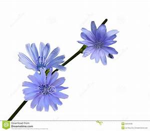 Chicory Wildflower stock image. Image of season, beautiful ...