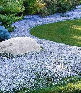 Lang Blühende Pflanzen : isotoma blue foot 3 pflanzen g nstig online kaufen mein sch ner garten shop ~ Eleganceandgraceweddings.com Haus und Dekorationen