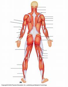 Muscle Diagrams