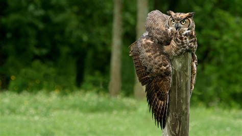 Background Owl Wallpapers by Great Horned Owl Hd Wallpaper Background Image
