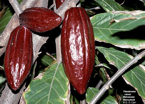 chocolate plants flowering plant families uh botany