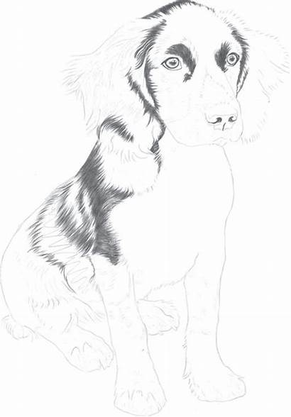 Drawing Dogs Springer Spaniel Cats Puppy Pencil