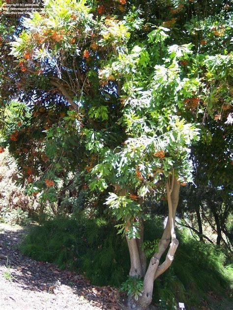 tree firewheel stenocarpus sinuatus zone 9b 10a california southern huntington closer gardens palmbob davesgarden