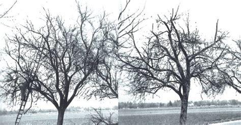 kirschbaum schneiden vorher nachher obstbaumschnitt den hut durchwerfen naturschutz ch