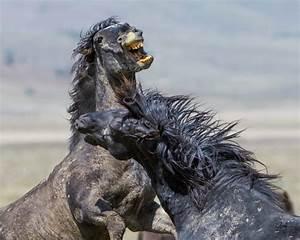 Wild Horses Fighting - Onaqui Herd - Photography of Wild ...  Wild