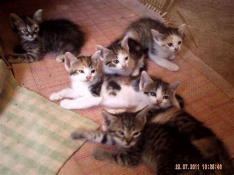 cuccioli  gatto meticci  cerca  casa petpassion