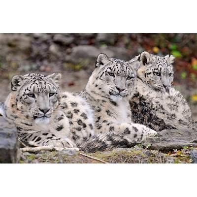 Save Nature Human: The Snow Leopard