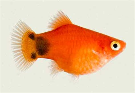 mickey mouse fish platy red mickey mouse tropicali