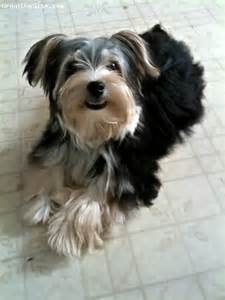 Black and Tan Adult Morkie Dogs