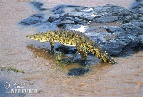 nile crocodile  nile crocodile images nature wildlife pictures naturephoto