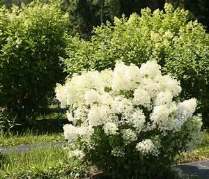 Hydrangea Paniculata Bobo : bobo hardy hydrangea eclectic landscape chicago ~ Michelbontemps.com Haus und Dekorationen