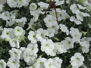 Balkonpflanzen Hängend Pflegeleicht : petunia surfinia weiss pflanzen versand harro 39 s ~ Lizthompson.info Haus und Dekorationen