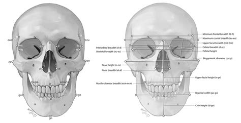 Craniometric Frontal Points and Measurements - Kaitlin ...
