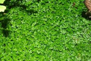 Green Ground Cover Plants
