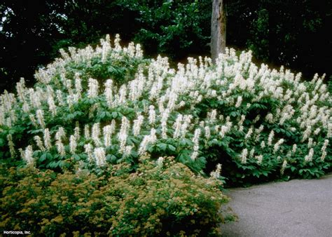 bushes for shade 7 shrubs for shade gardens hgtv