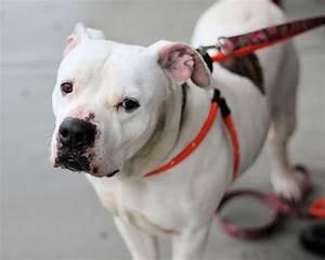 Bulloxer (American Bulldog-Boxer Mix) Info, Puppies, and ...