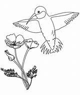 Hummingbird Calliope Coloring Flowers sketch template