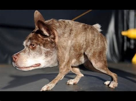 world s ugliest dog video 2017 youtube