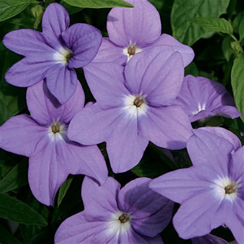 colorful plants for shade amethyst flower browallia hybrids