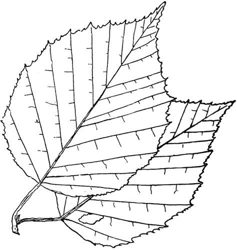 genus betula  birch clipart