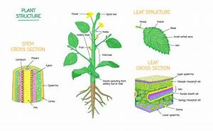Plant Structure Cross Section Diagrams Vector