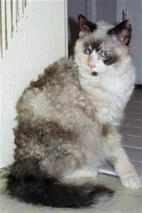 Cats La : 17 best la perm cats want one images on pinterest laperm kitty cats and la perm cat ~ Orissabook.com Haus und Dekorationen