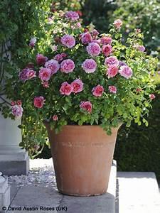 Winterharte Blumen Für Kübel : rosen in topf und k bel pflegen pflanzen rosen pflanzen und topfgarten ~ A.2002-acura-tl-radio.info Haus und Dekorationen