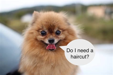 chronicles  pomeranian haircuts updated