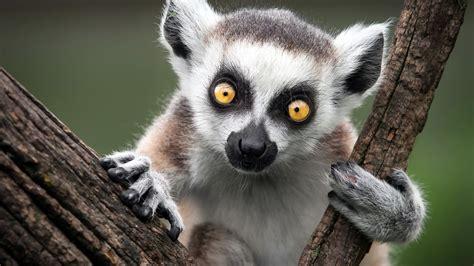full hd wallpaper lemur muzzle amusing close  desktop